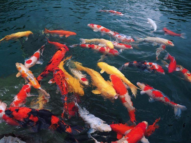 Hình ảnh đàn cá koi khỏe mạnh khi được chăm sóc tốt