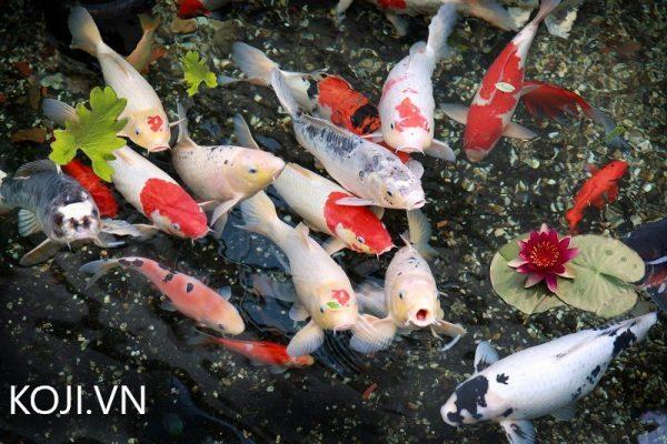 Nước trong hồ cá koi đạt chuẩn không bị đục bẩn