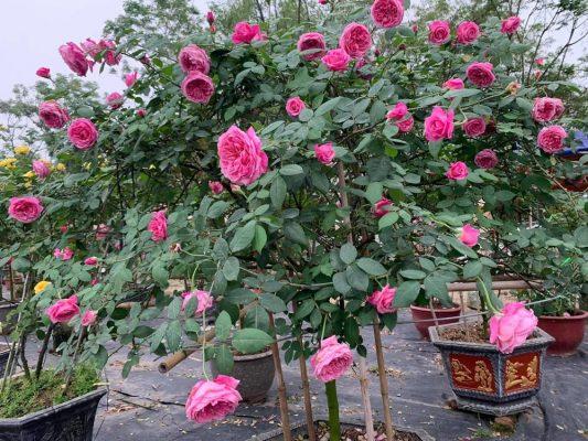 Hoa hồng cổ