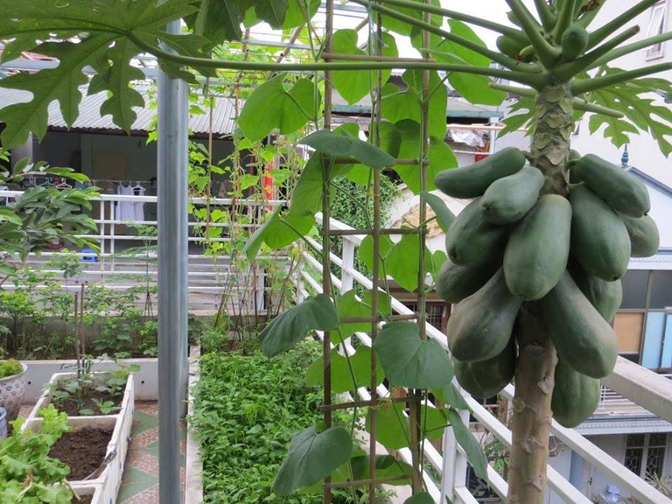 trồng cây ăn quả trên sân thượng