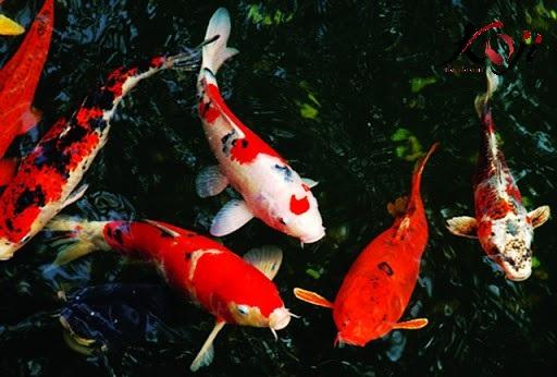 Mẫu cá koi Nhật hot nhất hiện nay