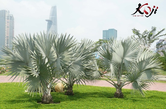 Cây kè cũng là một loại cây được nhiều người ưa chuộng trong phong thủy sân vườn biệt thự