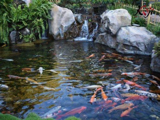 Hồ cá koi ngoài sân vườn