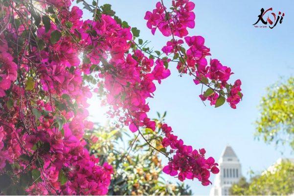 HÌnh ảnh hoa giấy khi nở rộ rực rỡ