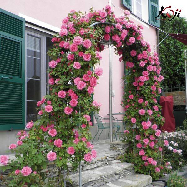 Hoa hồng leo trang trí cổng nhà