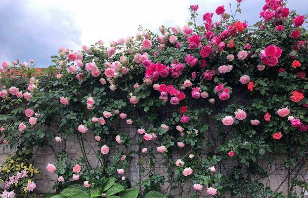 Nhà biệt thự trồng cây hoa hồng leo cực đẹp
