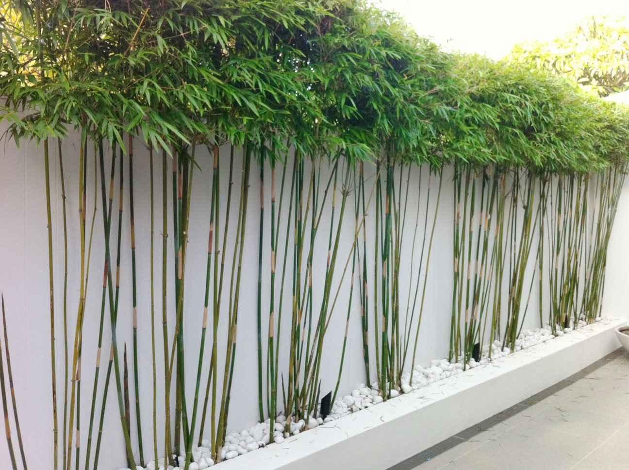 Hình ảnh cây trúc trang trí sân vườn