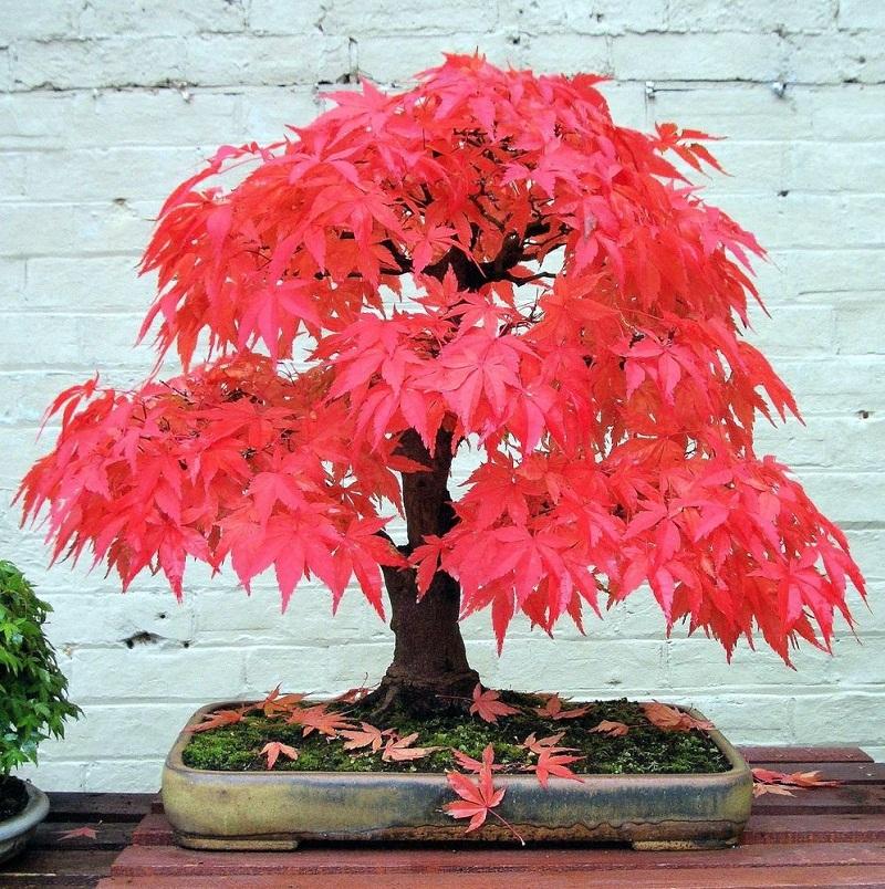 Cây phong đỏ Nhật Bản