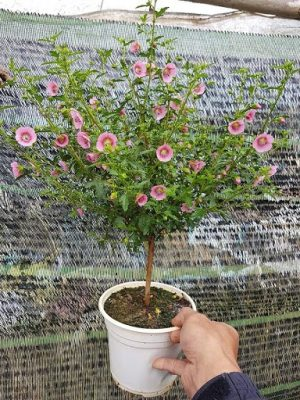 Hoa cẩm quỳ thâm gỗ