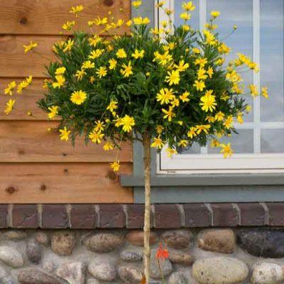 Hoa cúc vàng thân gỗ