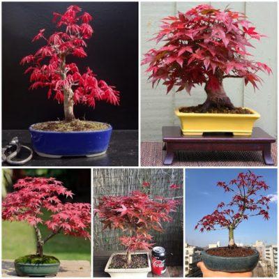 Cây phong lá đỏ trồng ban công
