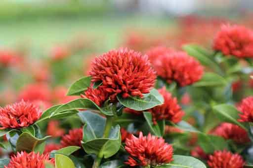 Cây hoa mẫu đơn đỏ