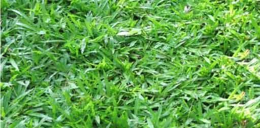 Cỏ lá gừng (cỏ lá tre)