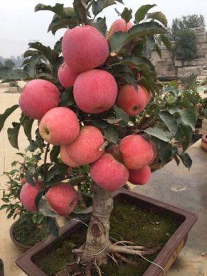 cây táo trồng sân vườn