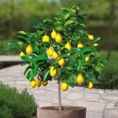 cây chanh