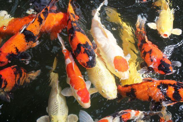 Chọn giống cá Koi có hình dáng cân đối