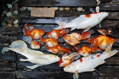 Môi trường sống cũng ảnh hưởng tới cá koi