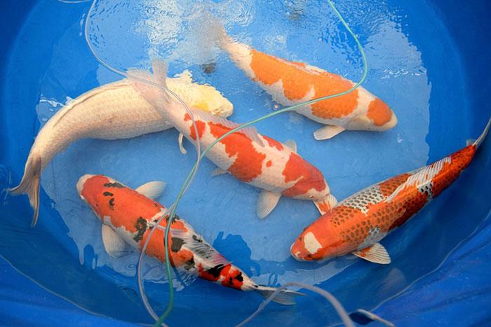 nuôi cá koi trong chậu nhựa