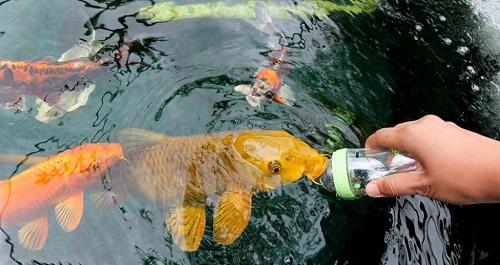 Thức ăn cần chuẩn bị cho cá koi
