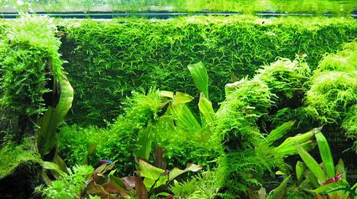 Nguyên nhân gây ra rong rêu trong hồ cá