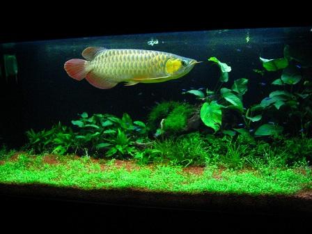 Cần diệt rêu tảo để bể cá không bị ô nhiễm