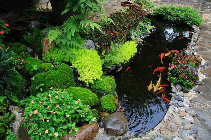 Hồ cá koi ngay tại sân vườn