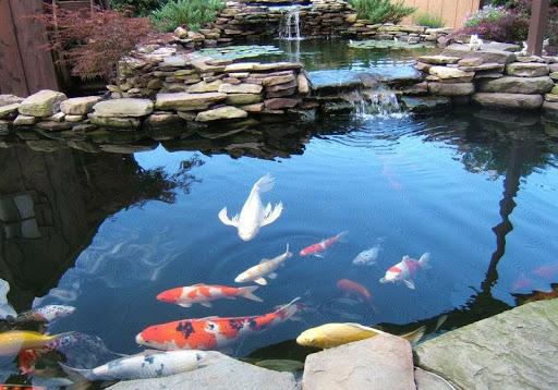 hồ cá koi rộng tại nhà