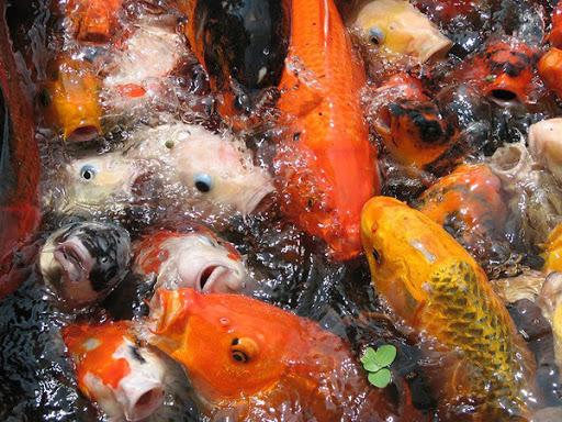 Chú ý quan sát các biêu hiện lạ của đàn cá