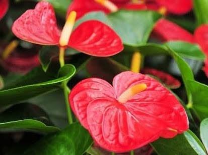 Hoa hồng môn