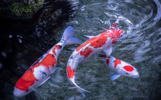 Cá chép Koi có nhiều loại với nhiều màu sắc hấp dẫn