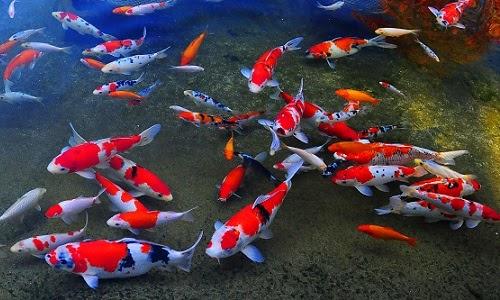 Nói về nguồn gốc của cá Koi