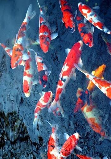 Cá chép Koi là loài có khả năng mang thai cùng lúc hàng triệu trứng